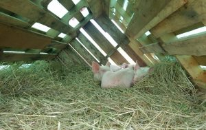 Young piggies enjoy a bed of hay until they bulk up a bit more