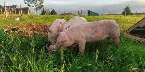 Pasture fed piggies at Simply Ducky Farm