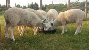 Feeding time for newly arrived lambs