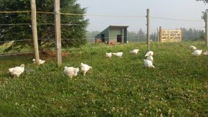 Free Range Chickens at Simply Ducky Farm
