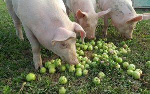 Apples - an essential part of a balanced diet.