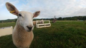 This is a serious sheepie. This is serious business.