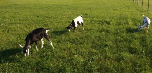 Sarah, Moopy, and Donut grazing in the field in 2015