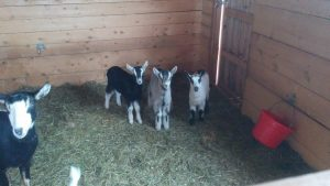 Spork, Dr. Bigglesworth, and Sprinkles are unimpressed at being left in the pen with the adults.