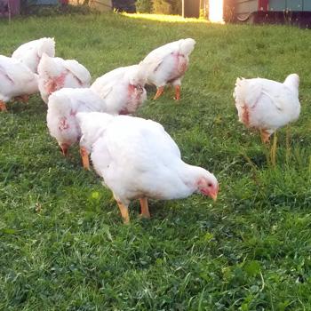Simply Ducky Farm: Cornish Cross