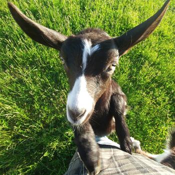 Simply Ducky Farm: Alpine Goats