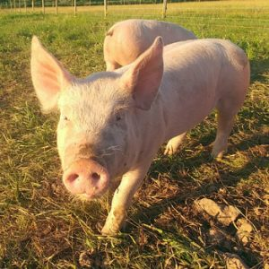 Simply Ducky Farm: Landrace Pigs