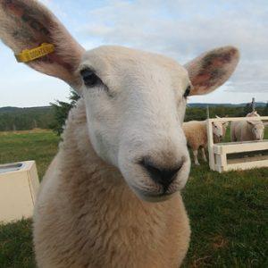 Simply Ducky Farm: Sheep