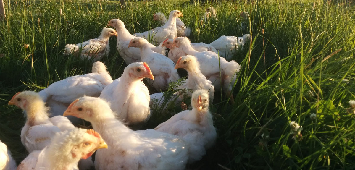 Five week old chickens hiding in the long grass at Simply Ducky Farm
