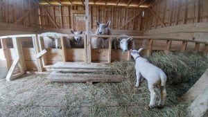 Potato the Lamb meets her future roommates. They were not impressed...