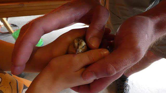 A wee visitor handles a day-old baby quail