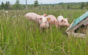Be careful! There are piggies in the long grass ....