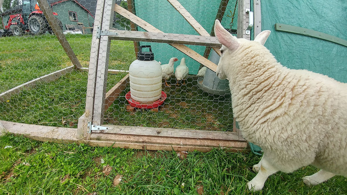 Potato the Sheep inspects the Chicken Tractor