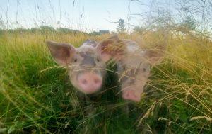 Stealth Piglets