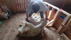 Shearing Time!