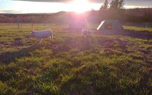 Solar-powered Piggies