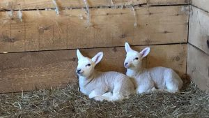 Thoughtful lambs contemplate the deeper meaning of life, the universe, and momma's milk