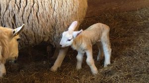 A one day old lamb follows closely behind momma